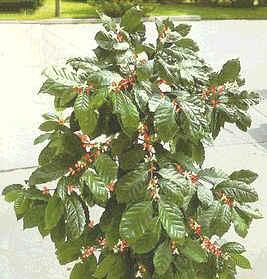 La coffea nana una pianta di caff in salotto for Pianta da salotto